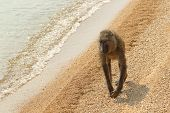 picture of anubis  - An olive baboon  - JPG