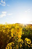 Yellow Canola Flowers Against The Setting Sun
