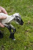 Hands Helping Lamb To Stand