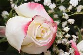 White Rose With Pink Edges Of The Petals With Gypsophila