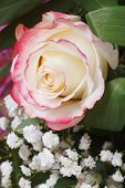 White Rose With Pink Edges With Baby's Breath Flowers.