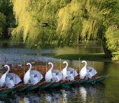 Boston Public Garden Swan Boats