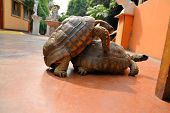 stock photo of copulation  - 2 turtles are copulating during while mating - JPG