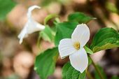 foto of trillium  - White Trilliums growing on the forest floor - JPG