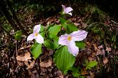 picture of trillium  - White Trilliums in their pink phase growing on the forest floor - JPG