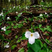 Trilliums Under The Canopy - Square