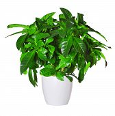 Sprout Of Gardenia A Potted Plant Isolated Over White