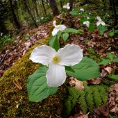 Trilliums Beside Mossy Log - Square