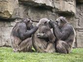 Macacos em tarefas de limpeza