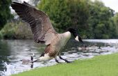 Canada / Canadian Goose landing on a rural river side