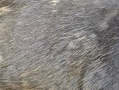Sambar Deer Fur
