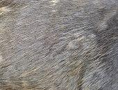 Sambar Deer Fur