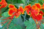 Chinese Tropical Flower poster