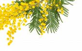 pic of mimosa  - Mimosa branch close up - JPG