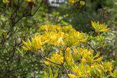 Rhododendron Gandavense