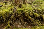 Tree roots exposed in forest covered in moss