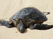 Hawaiian Sea Turtle Rest On Beach
