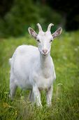 Cute young white goat