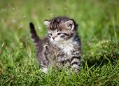 Grey tabby kitten on green grass