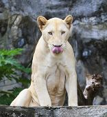 Face Of Funny Lioness Tongue