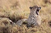 Cheetah yawning in the Masai Mara reserve in Kenya Africa