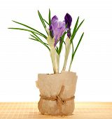 Pot with crocuses on the bamboo cloth