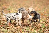 Adorable Louisiana Catahoula Puppies Playing