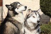 picture of malamute  - Gorgeous Alaskan Malamutes sitting together in the garden - JPG