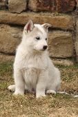 foto of malamute  - Puppy of Alaskan Malamute in springs garden - JPG