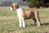 stock photo of american staffordshire terrier  - Gorgeous little puppy of American Staffordshire Terrier standing alone in nature
