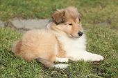 Amazing Little Puppy Of Scotch Collie Lying