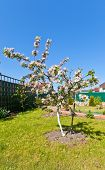 Blooming Apple-tree (malus Champion)