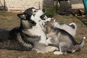image of malamute  - Alaskan malamute parent playing with puppies on the garden - JPG