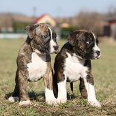 pic of american staffordshire terrier  - Two nice little puppies of American Staffordshire Terrier together in exterier - JPG