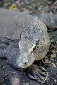 foto of giant lizard  - A close up shot of a Komodo Lizard
