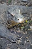 stock photo of giant lizard  - A close up shot of a Komodo Lizard - JPG