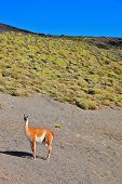 Magic country Patagonia. Gravel road between the mountains and trusting guanaco -  small camel. Nati