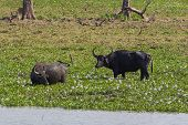 Water Buffalos