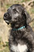 Nice Irish Wolfhound Puppy