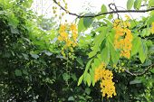 Golden shower tree flowers and buds