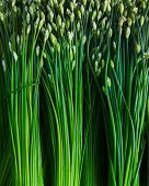 picture of chives  - green vegetable  - JPG