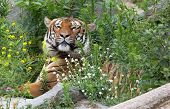 tiger behind flowers