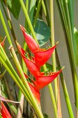picture of heliconia  - Heliconia - JPG