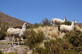 Lamas shot in Bolivia