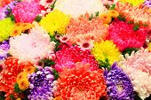 stock photo of chrysanthemum  - Chrysanthemum flowers - JPG