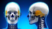 Female Temporal Bone Skull Anatomy - Blue Concept