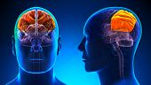 Male Parietal Lobe Brain Anatomy - Blue Concept