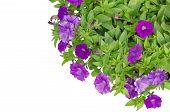Purple petunia flower  isolated on white background