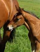 stock photo of mare foal  - Horse mare with her foal in a meadow - JPG