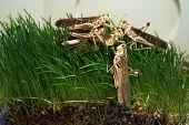 foto of locusts  - Desert locust  - JPG